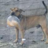 Tyson, mascote de Barra Nova